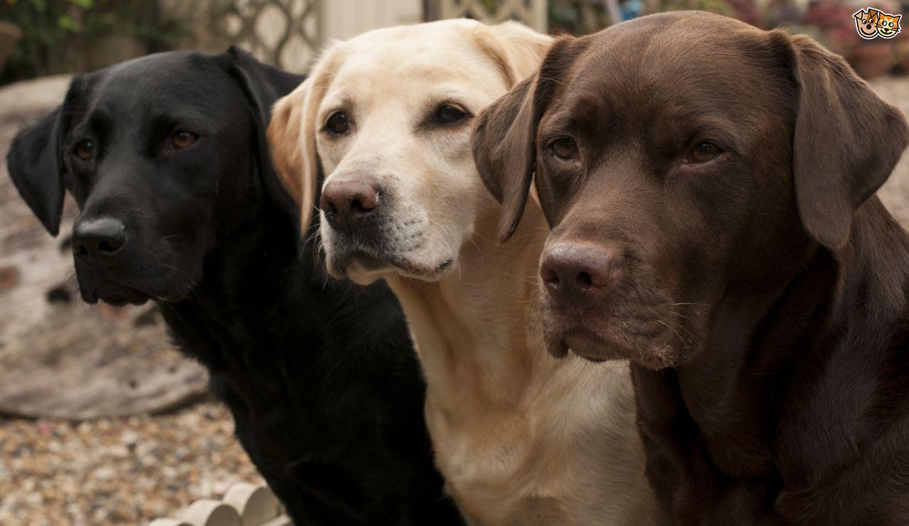 Labrador : tous mes conseils pour choisir les bonnes croquettes
